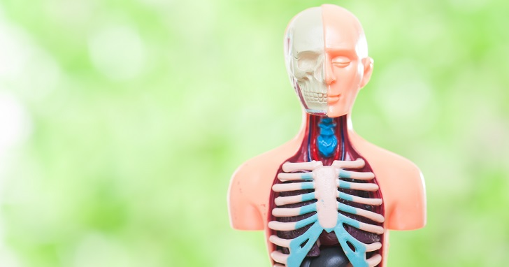 アイキャッチ画像(骨と筋肉の模型)