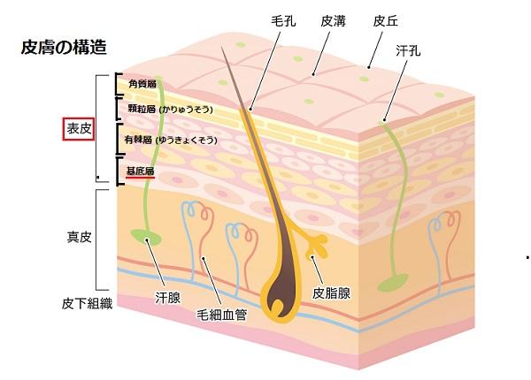 肌の構造の画像(2)