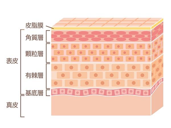表皮の4層構造