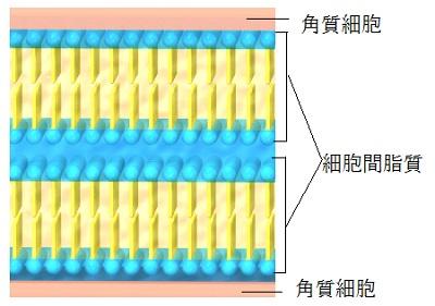 細胞間脂質のイメージ画像